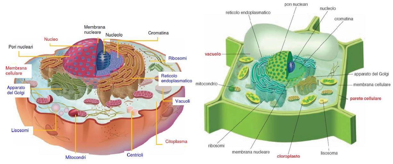 Organuli cellule eucariote spiegazione e mappa blog di aiutoperstudiare - Che forma hanno le cellule dei diversi tessuti ...